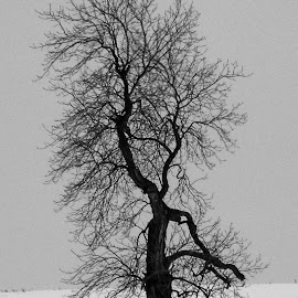 Solo tree in winter by Pierre Tessier - Landscapes Forests ( winter, cold, tree, solo, black and white,  )