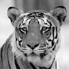 by S Balaji - Black & White Animals ( s.balaji, animals, style, nature, tiger, bannerghatta national park )