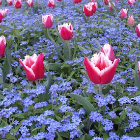 The Tulips in Zagreb by Bozica Trnka - Flowers Flower Gardens ( park, tilips, croatia, zagreb, flowers, mood factory, color, lighting, moods, colorful, light, bulbs, mood-lites )
