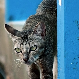 Kucing liar 3 by AbngFaisal Ami - Animals - Cats Playing