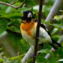 Hybrid Black-headed X Rose-breasted Grosbeak