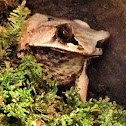 Long Nosed Horned Frog