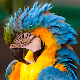 Colorful Cleaning by Lee Jorgensen - Animals Birds ( bird, zoo, colorful, parrot, animal,  )