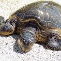 Green sea turtle (honou)