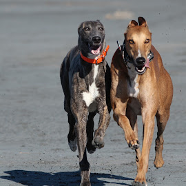 Togetherness by Karin Bennett - Animals - Dogs Running ( playing, beach, greyhounds. running )