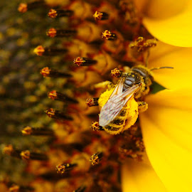 buzzing bee by John Knowles-smith - Nature Up Close Other plants ( macro, pollen, bee, sunflower, yellow )