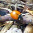 California Ladybug