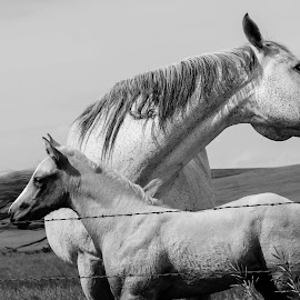 mare and offspring by John Knowles-smith - Animals Horses ( mare, black and white, colt, landscape, prairie )