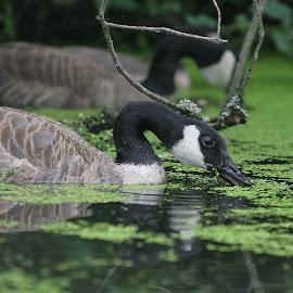 Munching away. by Dan Dusek - Animals Amphibians ( canada goose, waterfowl, nature up close, goose, animal,  )