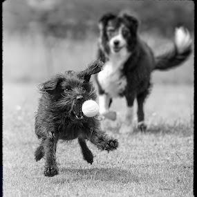 garden sport by Annette Flottwell - Animals - Dogs Playing ( athletics, football, jasper, tennis,  )