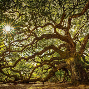 Angel Oak Tree by Serge Skiba - Landscapes Forests ( perservere )