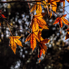 autumn leves by Vibeke Friis - Nature Up Close Leaves & Grasses ( autumn, leaves, morning,  )
