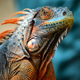 Red Iguana by Ajar Setiadi - Animals Reptiles