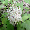 Heartleaf Foamflower