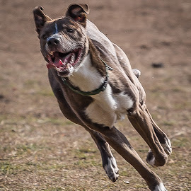 Full Speed by Ron Meyers - Animals - Dogs Running