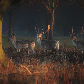 The 3 Bucks by Gordon Roach - Animals Other Mammals ( antler, fallow deer, autumn, sunlight, dama dama, deer )