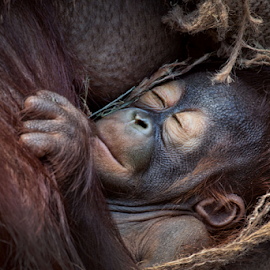 Sleeping  by Michael Milfeit - Animals Other Mammals ( affe, orang-utan, sleeping, menschenaffe, baby ape, pongo, primat, hominidae )