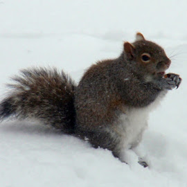 Winter Squirrel by Sherri Hillman - Animals Other ( canada, snow, eating, ontario, squirrel )