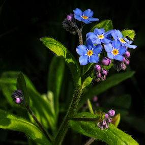 Forget-me-not by Irena Gedgaudiene - Flowers Flowers in the Wild ( forget-me-not, blue, bloom, bud, spring, nikon d90, flower,  )