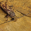 Satin-wood Borer