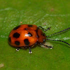Small Leaf Beetle ?