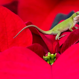 Anole on Poinsettia  by George Holt - Animals Amphibians ( poinsettia, lizard, red, anole, green )