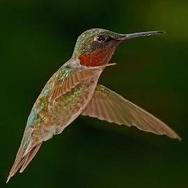 by Lyle Gallup - Animals Birds ( bird, flying, color, hummingbird )