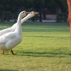walk in the park by Vatsal Patel - Animals Birds ( park, green, ducks, morning, birds, eyes, city, two, nature, india, nikon, walk, animal )