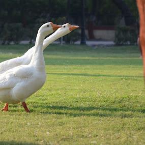 walk in the park by Vatsal Patel - Animals Birds ( park, green, ducks, morning, birds, eyes, city, two, nature, india, nikon, walk, animal )