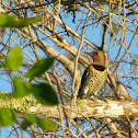 Northern Flicker (Yellow-shafted female)