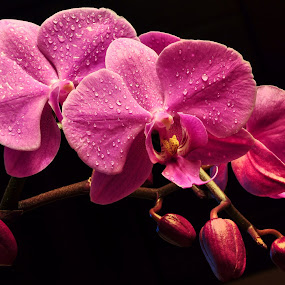 Orchid blossoms by Irena Gedgaudiene - Flowers Tree Blossoms ( black background, water drops, orchid, pink, bud )
