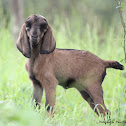 Domestic Goat - Immature