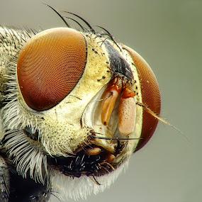 Fly, mosca doméstica by Rui Santos - Animals Insects & Spiders ( macro, abaetetuba, raynox, fly, doméstica, casa, fuji, pará, amaonia, brasil, mosca )
