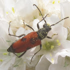 Dimorphic Longhorn Flower Beetle (Female)
