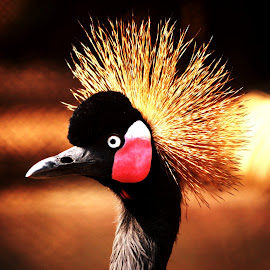 A Crowned Beauty by Saptarsi Roy - Animals Birds