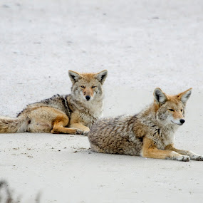 Coyotes Relaxing  by Cody Hoagland - Animals Other Mammals ( coyote )