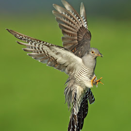 Cuckoo by Paul Mcmullen - Animals Birds ( cuckoo )