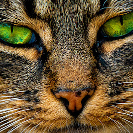 Striking Distance by Graham Peel - Animals - Cats Portraits ( strike, cat, green, attack, claws, eyes )
