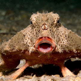 Kiss Me by Ryan Nelson - Animals Sea Creatures ( bat fish, underwater, fish, underwater photography, scuba )