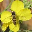Common Oblique Hover Fly
