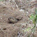 CA Common Gopher