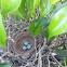 Northern mockingbird eggs