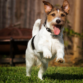 I will Get You! by Shawn Klawitter - Animals - Dogs Running ( playing, jack russell, chasing, outdoors, pets, running )