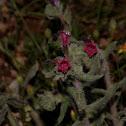 Red bugloss