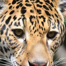 by Vatsalya Prasad - Animals Lions, Tigers & Big Cats