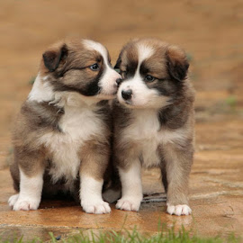by Lynda Snowling - Animals - Dogs Puppies (  )