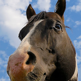by Barbara Brock - Animals Horses ( horse in the pasture, cloudy sky, looking up at a horse, horse head, horse eye,  )