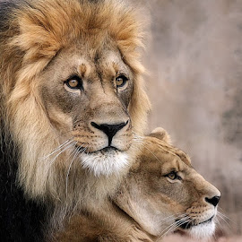 Royal Couple by John Larson - Animals Lions, Tigers & Big Cats (  )