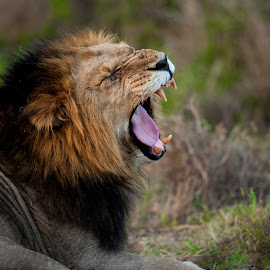 Big Yawn by Kim Stockley - Animals Lions, Tigers & Big Cats ( yawning, strength, safari, south africa, beauty in nature, lions, teeth, powerful, dusk, evening,  )