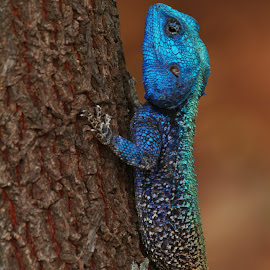 Colourful lizard by Ann Cameron - Animals Reptiles ( lizard, kruger national park, blue, colorful, south africa, reptile, animal )
